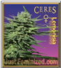 Ceres Lemonesia Female 5 Marijuana Seeds